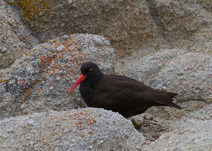 Black Oystercatchers roosting in Pacific Grove, California (7/1/2011). Photo by Bill Hubick.