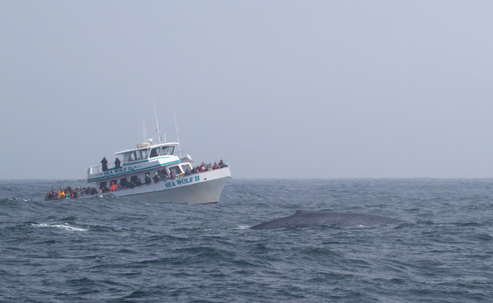 A Blue Whale in Monterey Bay, California - the largest creature that has <em>ever</em> lived! Photo by Bill Hubick.