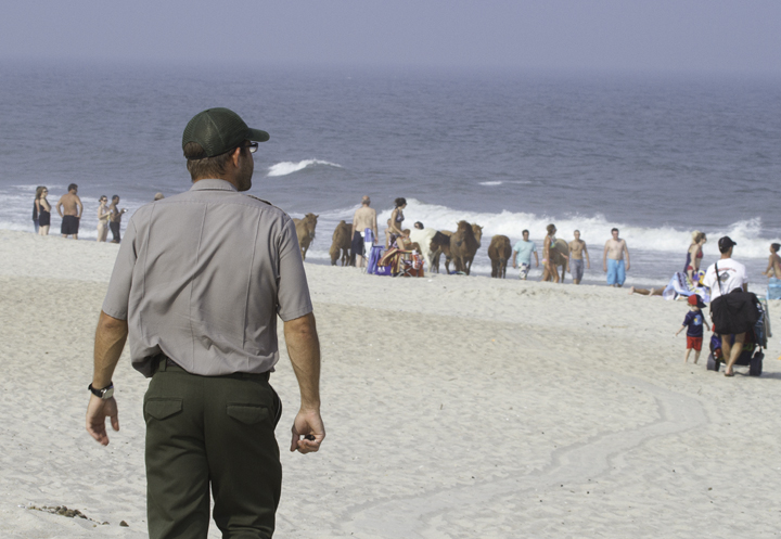 An Assateague ranger prepares to breaks up a pony party on the beach before some kid gets an ear bitten off - entertainment during a sea watch that provided Black Tern, Whimbrel, and Wilson's Storm-Petrels. (7/23/2011). Photo by Bill Hubick.