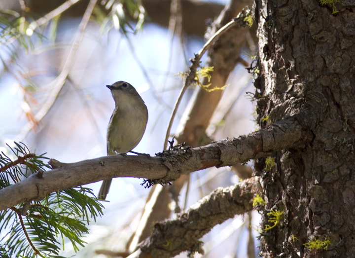 A Cassin's Vireo on Mount Shasta, California (7/6/2011). Photo by Bill Hubick.
