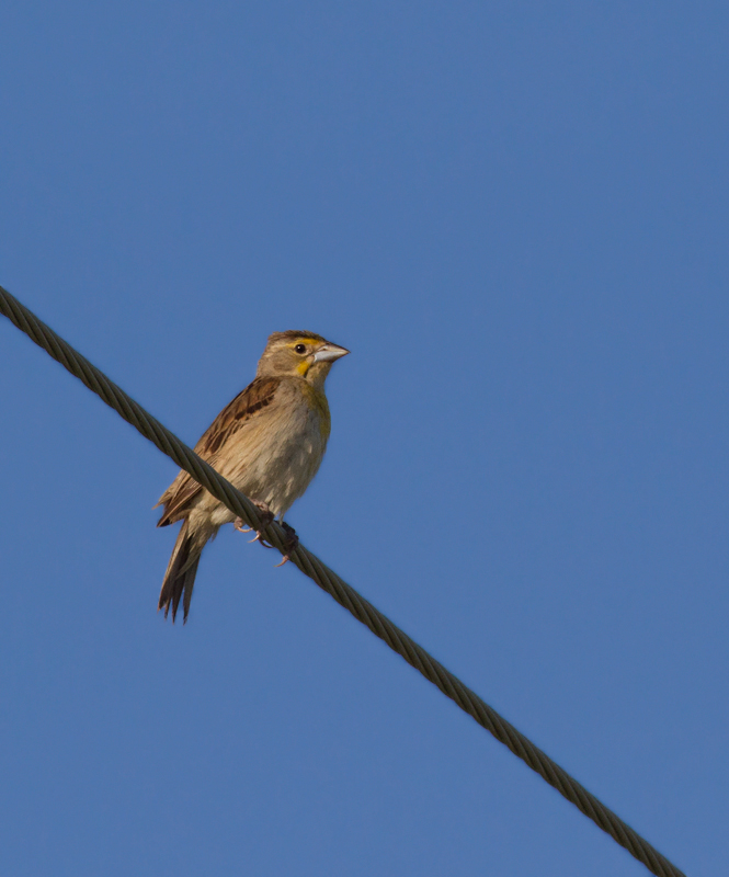 A female Dickcissel in Calvert Co, Maryland (7/17/2011). Likely nesters found here by Joel Martin.  Photo by Bill Hubick.