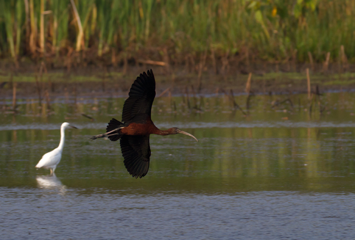A Glossy Ibis arrives at the pond at Vaughn North, Worcester Co., Maryland (7/23/2011). Photo by Bill Hubick.
