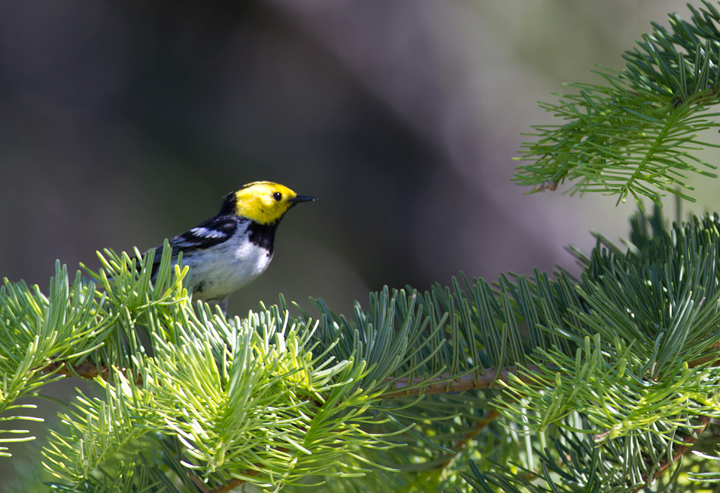 A beautiful male Hermit Warbler performs for Becky and me at the California/Oregon border in Klamath NF (7/5/2011). Photo by Bill Hubick.