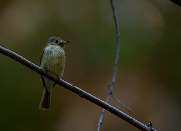 A Pacific-slope Flycatcher in Palo Colorado Canyon, California (7/1/2011). Photo by Bill Hubick.