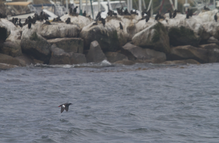 A Pigeon Guillemot in Monterey Bay, California (7/1/2011). Photo by Bill Hubick.