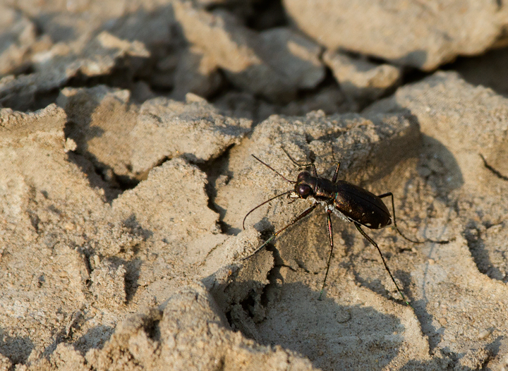 A Punctured Tiger Beetle in Anne Arundel Co., Maryland (7/29/2011). Photo by Bill Hubick.