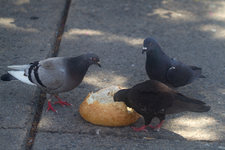 Monterey: such a paradise that even the Rock Pigeons feast on clam chowder bread bowls.<br />And no, that wasn't one of ours. I do not share mine. Photo by Bill Hubick.