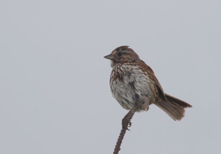 A Song Sparrow performs in the morning fog at Dry Lagoon SP, California (7/5/2011). Photo by Bill Hubick.