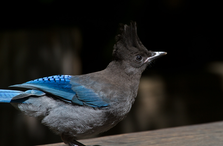 A Steller's Jay poses for close-ups in Humboldt Redwoods SP, California (7/4/2011). Photo by Bill Hubick.
