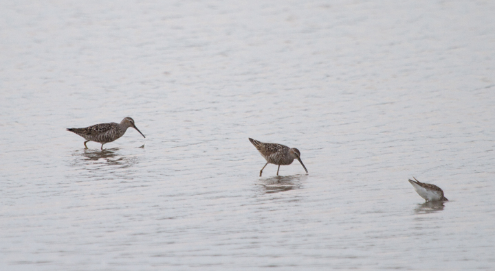 Two Stilt Sandpipers at Swan Creek in Anne Arundel Co., Maryland (7/22/2011). Photo by Bill Hubick.