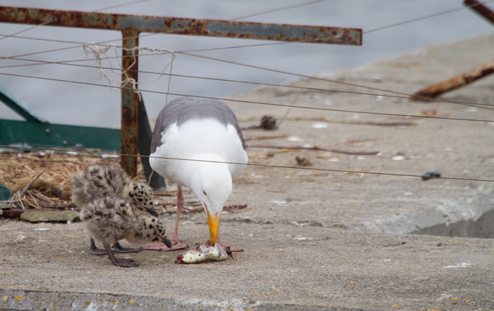A Western Gull feeds its two downy chicks in Monterey Harbor, California (7/1/2011). Photo by Bill Hubick.