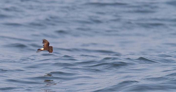 One of 12 Wilson's Storm-Petrels easily observed from shore at the Ocean City Inlet, Maryland (7/23/2011). Photo by Bill Hubick.