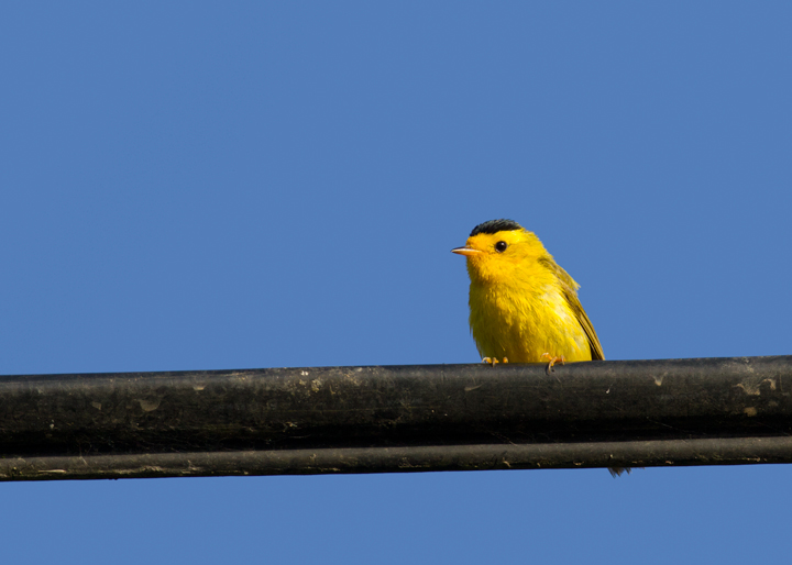 A Wilson's Warbler so charged up that he's singing from a telephone wire in Watsonville, California (7/1/2011). Photo by Bill Hubick.