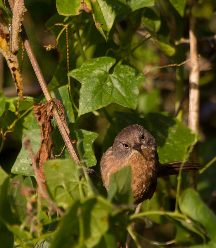 A Wrentit poses for me at Watsonville Slough, California (7/1/2011). Photo by Bill Hubick.