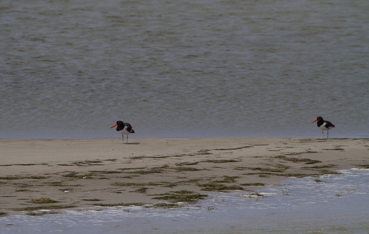 American Oystercatchers on a sandbar off Smith Island, Somerset Co., Maryland (8/6/2011). Photo by Bill Hubick.