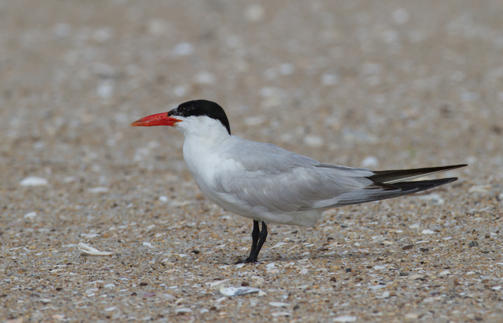 An adult Caspian Tern roosting on Assateague Island, Maryland (8/21/2011). Photo by Bill Hubick.