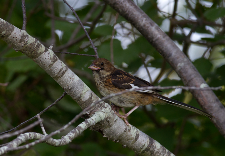 A juvenile Eastern Towhee on Assateague Island, Maryland (8/21/2011). Photo by Bill Hubick.