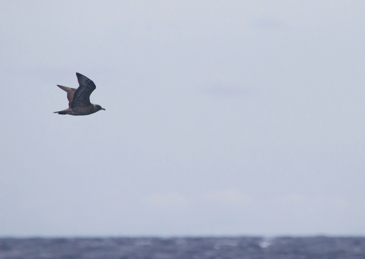 A Pomarine Jaeger far at sea in Maryland waters (8/14/2011). Photo by Bill Hubick.