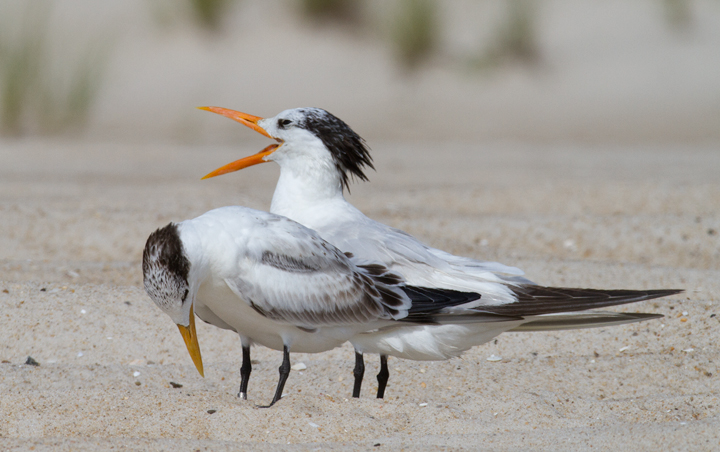 All parents embarass their kids.<br /> Adult and juvenile Royal Terns loafing on the beach at the end of summer (Assateague Island, Maryland, 8/21/2011). Photo by Bill Hubick.