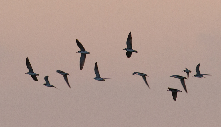 Some of the 23 migrant Black Terns that were feeding in Hurlock, Maryland at dusk on 9/10/2011. After foraging for a while, they kettled up and departed to the southeast. Photo by Bill Hubick.