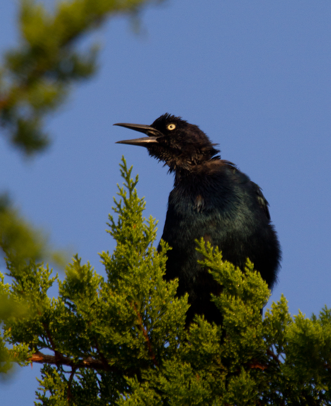 Many of the Boat-tailed Grackles on Assateague Island are in heavy molt and missing tail feathers at this date (9/10/2011). Photo by Bill Hubick.