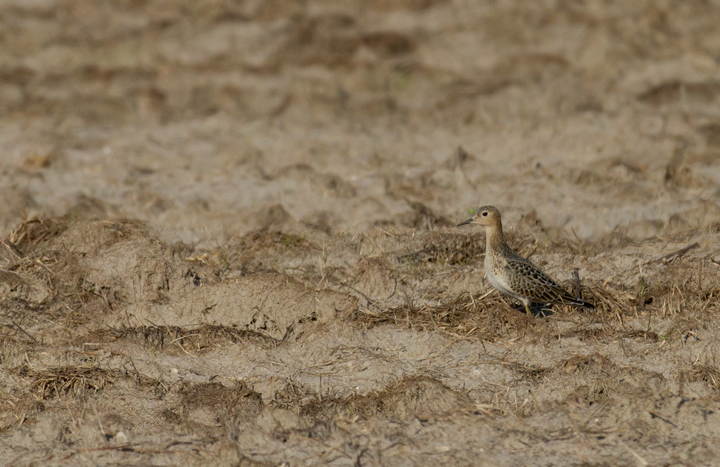 One of three Buff-breasted Sandpipers at a Wicomico Co., Maryland sod field (9/10/2011). Found by Ron Gutberlet. Photo by Bill Hubick.