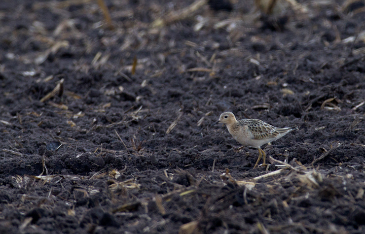 This cooperative Buff-breasted Sandpiper stole the show during an MBC field trip to Assateague Island and vicinity - Murray Sod Farm, Worcester Co., Maryland (9/10/2011).  Photo by Bill Hubick.