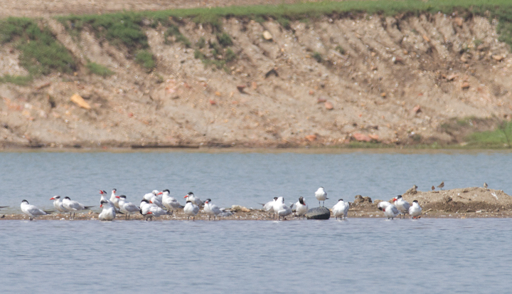 Caspian Terns roosting with Laughing Gulls at Swan Creek, Maryland (9/11/2011). Photo by Bill Hubick.