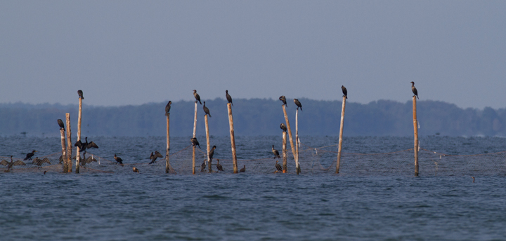 Double-crested Cormorants roosting on pound nets off Point Lookout SP, Maryland (9/3/2011). Photo by Bill Hubick.