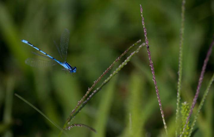 A Familiar Bluet, abundant locally in late summer, in Harford Co., Maryland (8/31/2011). Photo by Bill Hubick.