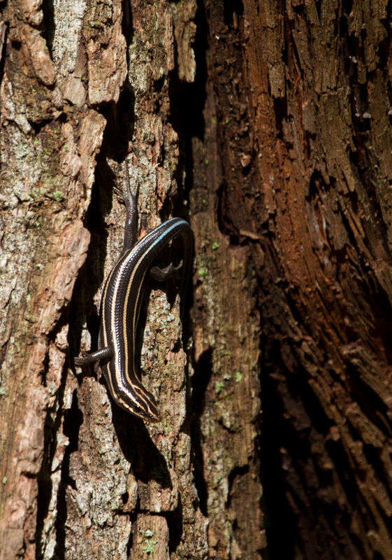 An immature Five-lined Skink near my home in Anne Arundel Co., Maryland (9/11/2011). Photo by Bill Hubick.