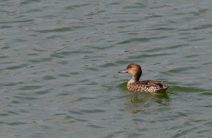 A hen Northern Pintail at Swan Creek, Maryland (9/11/2011). Photo by Bill Hubick.