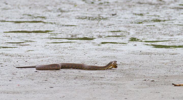 A Northern Water Snake drags an American Eel to drier land to prevent his unagi feast from escaping. Photo by Bill Hubick.