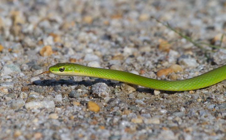"A Rough Green Snake, one of my personal favorite creatures, in Prince George's Co., Maryland (8/28/2011). The thin lines down the middle of each  scale make them ""keeled"" scales. These separate it from the Smooth Green Snake, which is only found in western Maryland.   Photo by Bill Hubick."