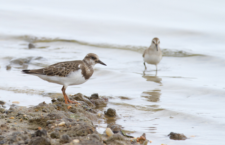 A juvenile Ruddy Turnstone at Swan Creek, Anne Arundel Co., Maryland (9/5/2011). Photo by Bill Hubick.