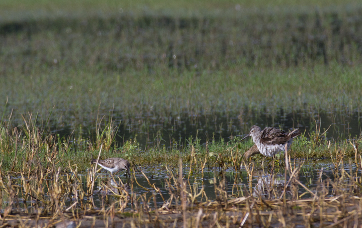 A Stilt Sandpiper (right) with White-rumped Sandpiper (left) in Wicomico Co., Maryland (9/10/2011). Photo by Bill Hubick.