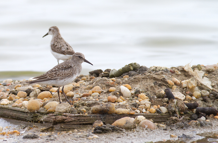 A White-rumped Sandpiper at Swan Creek, Anne Arundel Co., Maryland (9/5/2011). Photo by Bill Hubick.