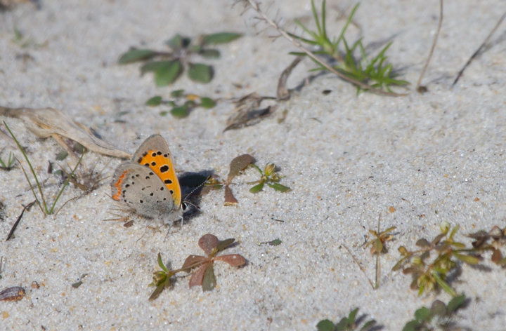 An American Copper on Assateague Island, Maryland (10/16/2011). Photo by Bill Hubick.