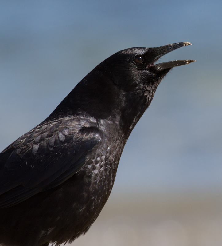 An American Crow on the beach at Malibu Lagoon, California (9/30/2011). Photo by Bill Hubick.