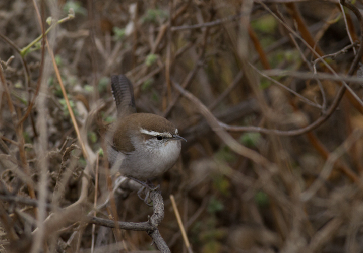 A Bewick's Wren at Lake Piru, California (10/4/2011). Photo by Bill Hubick.
