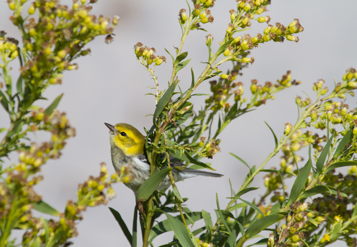 A Black-throated Green Warbler feeds in the Seaside Goldenrod on Assateague Island, Maryland (10/22/2011). Photo by Bill Hubick.