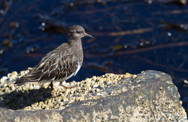 A Black Turnstone at Newport Harbor, California (10/06/2011). Photo by Bill Hubick.