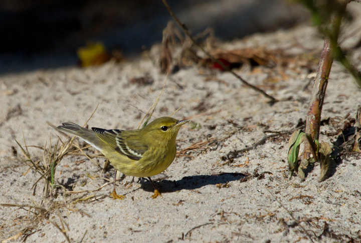 A migrant Blackpoll Warbler refuels on Assateague Island, Maryland (10/16/2011). Photo by Bill Hubick.