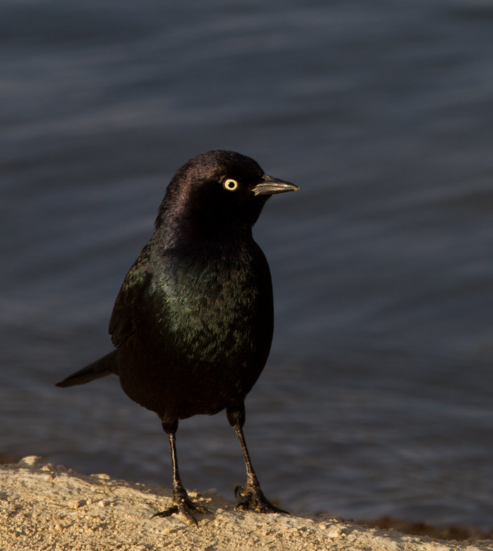 A male Brewer's Blackbird struts for the camera at Apollo Park, California (10/4/2011). Photo by Bill Hubick.