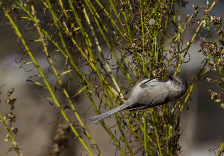 A Bushtit forages near the lighthouse at Cabrillo NM, California (10/7/2011). Photo by Bill Hubick.