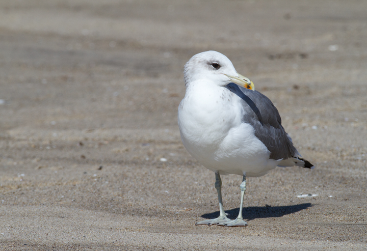 California Gulls in Malibu, California (9/30/2011). Photo by Bill Hubick.