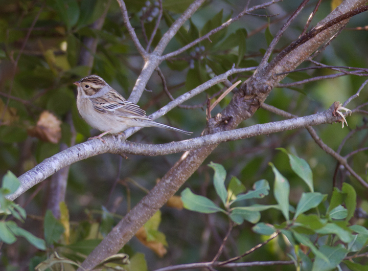 Two Clay-colored Sparrows on Assateague Island, Maryland (10/16/2011). Photo by Bill Hubick.