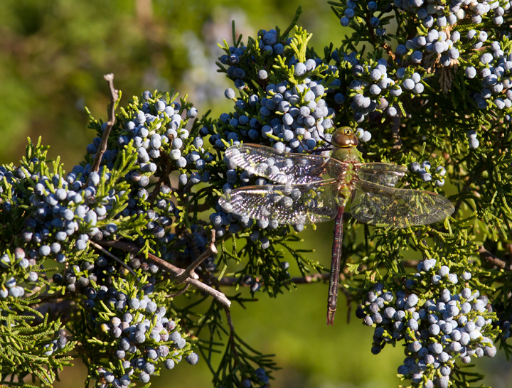 A worn Common Green Darner warms in the morning light at Bayside, Assateague Island, Maryland (10/16/2011). Photo by Bill Hubick.