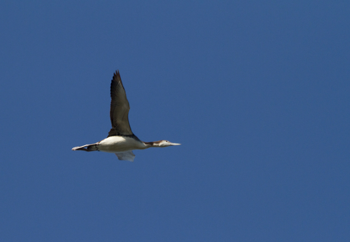 A migrant Common Loon in flight over Assateague Island, Maryland (10/16/2011). Photo by Bill Hubick.