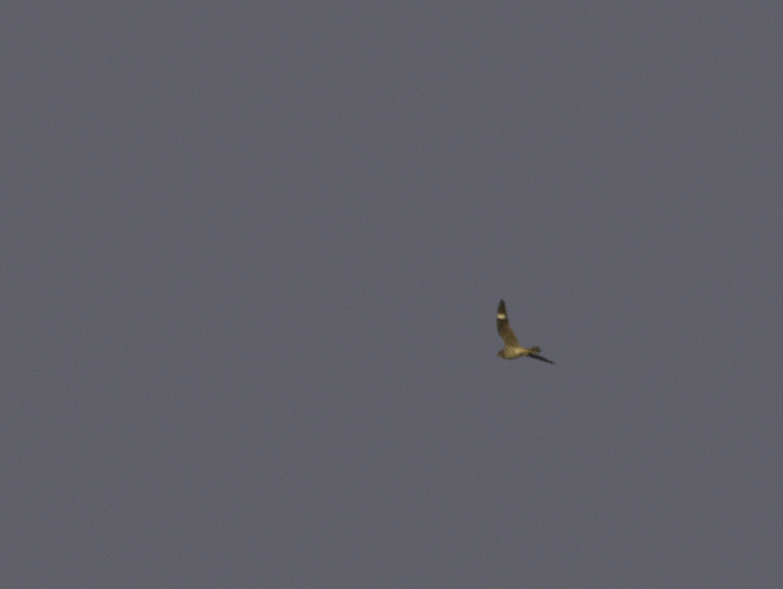 Documentation photo of a very late Common Nighthawk in West Ocean City, Maryland (10/22/2011). <br />This was a new Worcester Co. late date in eBird. Photo by Bill Hubick.